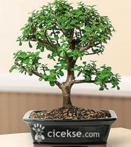 Bonsai Bodur Ağaç