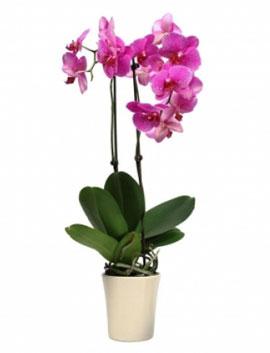 İzmir Çiçek Orkide 2 Dallı