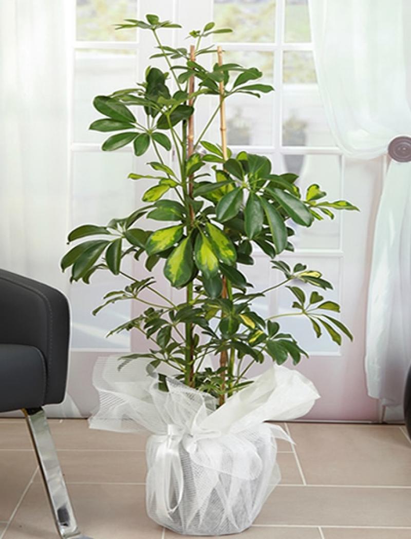 Şeflera ( Schefflera) Saksı Çiçeği