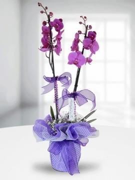 Mor Orkide 2 Dal