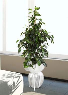 Ficus Benjamin 90 cm