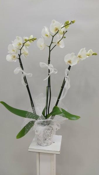 3 lü orkide