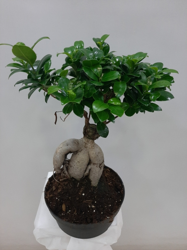 Bonsai Saksı Çiçeği