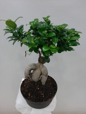Bonsai Saksı Çiçeği 45 cm