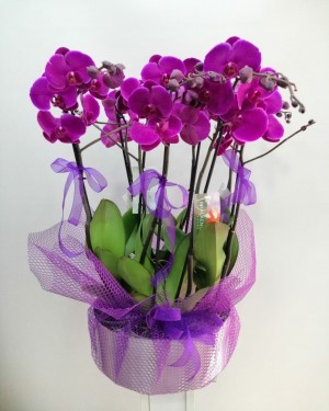 8 Dal Mor Orkide