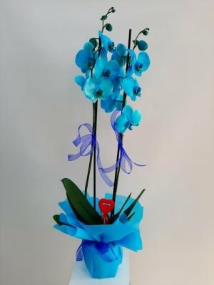 2 Dallı Mavi Orkide