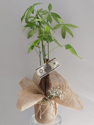 Para Çiçeği Pachira