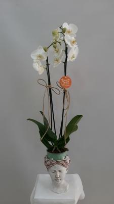 Helin Vazoda Orkide