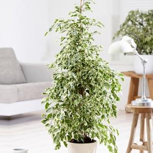 Ficus Benjamin Oda Çiçeği
